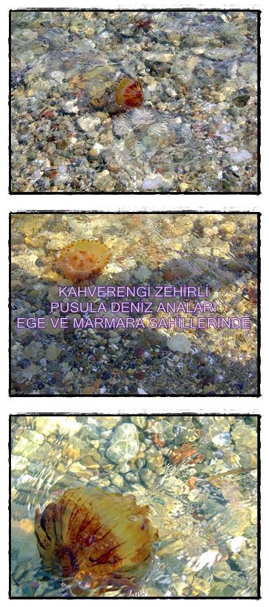 zehirli-kahverengi-pusula-deniz-analari-anasi-canakkale-sahilinde-marmara-ve-ege-denizi-sahillerinde