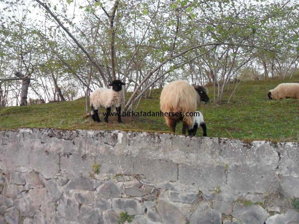 cins koyunlar