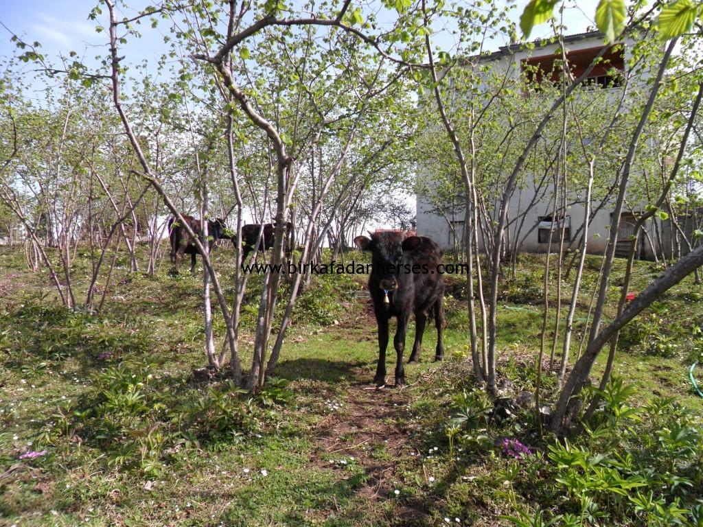 tepeköy köyü inekleri